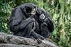 The Old Couple (helenehoffman) Tags: lesserape gibbon unkie arboreal sumatra animal ellie song primate gularsac eloise sandiegozoo mammal symphalangussyndactylus thailand conservationstatusendangered malaysia coth5