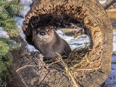 I See You (Wes Iversen) Tags: detroitzoo lutracanadensis michigan nikkor18300mm northamericanriverotter royaloak animals logs mammals peeking snow texture winter zoos