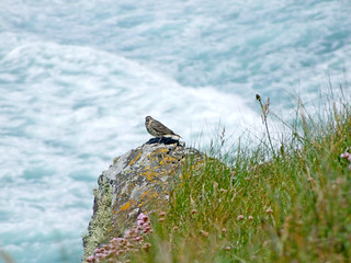 Rock Pipit on clifftop crag top