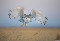 Snowy owl (andrériis) Tags: canada snowy owl winter golden hour