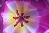 Pink Transparency (fs999) Tags: 100iso fs999 fschneider aficionados zinzins pentaxist pentaxian pentax k1 pentaxk1 fullframe justpentax flickrlovers ashotadayorso topqualityimage topqualityimageonly artcafe pentaxart corel paintshop paintshoppro 2018ultimate paintshoppro2018ultimate masterphotos fleur flower blume bloem macrolife macro makro tamronspafdi90mmf28macro tamron sp af di 90mm macrolens 11 metzflash52af1digital metz flash metz52af1 ray rayflash universal l adaptateur annulaire ring adapter nissinsc01 nissin sc01 shoe cord