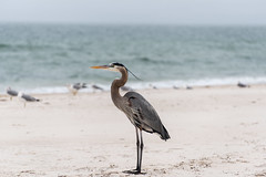 Great Blue Heron on St. George Island (Sam_pep) Tags: greatblueheron florida wildlife nature bird birds nikon beach ocean gulf gulfofmexico
