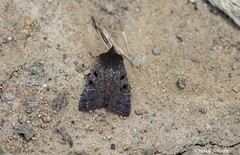 A dark moth (Photosuze) Tags: moths dark lepidoptera insects bugs hairy black brown nature wildlife animals