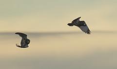 Short-eared owl's - It's a 'hoot' (Ann and Chris) Tags: shortearedowl owl beautiful raptor flight flying bird wildlife wild wings nature avian canon