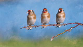 Goldfinch Trio ~ Composite