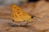 Thoressa masoni - the Golden Ace (BugsAlive) Tags: butterfly mariposa papillon farfalla schmetterling бабочка conbướm ผีเสื้อ animal outdoor insects insect lepidoptera macro nature hesperiidae thoressamasoni goldenace hesperiinae wildlife doisutheppuinp chiangmai เชียงใหม่ liveinsects thailand thailandbutterflies bugsalive ผีเสื้อจุดเหลี่ยมสีทอง