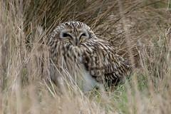 Short Eared Owl (PINNACLE PHOTO) Tags: seo owl asioflammeus raptor shortearedowl