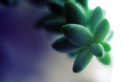 Succulent (rustman) Tags: succulent green white purple backlit macro plantlife botanical pothead gx8 pentaxcctv extensiontube texaslife