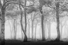 Forest (renatecamin) Tags: forest fog tree monochrom nature