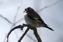"""goldfinch-a • <a style=""""font-size:0.8em;"""" href=""""http://www.flickr.com/photos/157241634@N04/26613922488/"""" target=""""_blank"""">View on Flickr</a>"""