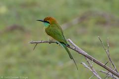 J7. Yala - Guêpier d'Orient (Darth Jipsu) Tags: yala safari asia nationalpark srilanka jeep animal feather wild wildlife bee ceylon bird ceylan beak park green beeeater 4x4 national southernprovince lk