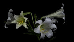 Lilies In The Light (Bill Gracey 18 Million Views) Tags: flowers flores fleur light offcameraflash lighting yongnuo yongnuorf603n softbox homestudio lily white blackbackground macrolens tabletopphotography shapes