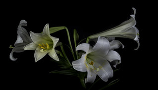 Lilies In The Light