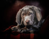 Boo's First Portrait (Neil_Wagner) Tags: boo weimaraner puppy