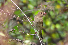 Common Rosefinch (female) 普通朱雀 (雌) (Jeffreycfy) Tags: birdsbirding animals wildlife nature nikon d500 nikkor200500mmf56e tc14eiii fringillidae carpodacuserythrinus finches commonrosefinch 燕雀科 鳴禽 普通朱雀
