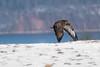 Bussard im Anflug... (Frank Dohle) Tags: sony ilce9 fe100400mmf4556gmoss 1500 f56 iso100 bussard winter snow buzzard bird prey mvp wildlife 400mm