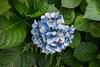 Dying away (sal tinoco) Tags: blue daytime flower hydrangea hydrangeas lavender leaf leaves purple shadow white fantasticflower