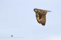short-eared owl (senn_b) Tags: asioflammeus hiboudesmarais raptor bird belgium canonef400mmf4doisii uitkerksepolder vlaanderen velduil belgië