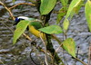 Inca Jay, Cyanocorax yncas yncas (asterisktom) Tags: bird vogel ave 鸟 птица 鳥 pajaro tripecuadorperu2018 ecuador 2018 january baeza incajay cyanocoraxyncasyncas cyanocoraxyncas jay