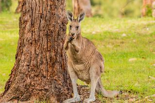 Kangaroo on the Golf Course