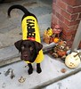 O'Henry posing on the steps. Photo by L.Corbett (Bruce Zbigniew Nuckowski) Tags: halloween chocolate lab puppy dapper dan