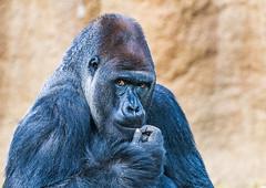 Hmmmm... (FotoMemi) Tags: nikond850 d850 losangeles fauna nikkor200500mmf56vr flickr digital california unitedstates us westernlowlandgorilla gorilla silver