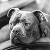 Chuck14Jan201810-Edit.jpg (fredstrobel) Tags: pets animals blackandwhite dogs phototype pawsdogs decatur georgia unitedstates us