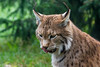 Zungenspiele (grasso.gino) Tags: tiere animals natur nature wildpark granat nikon d5200 katze cat luchs lynx zunge tongue