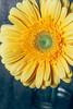 Gerbera (garethottywill) Tags: flower gerbera yellow flash studio nature growing fuji fujfilm xt2 xf80mmf28