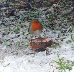 Robin in the snow (Dun.can) Tags: bird snow winter leicestershire garden red robin