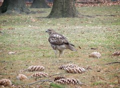 Immature red-tail (Goggla) Tags: nyc new york manhattan battery park urban wildlife bird raptor red tail hawk immature rth batterypark