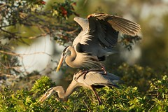 It's all about positioning (ChicagoBob46) Tags: greatblueheron blueheron heron bird florida veniceareaaudubonsocietyrookery rookery nature wildlife ngc coth5 npc