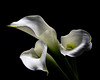 White Calla Lillies 1214 (Tjerger) Tags: nature beautiful beauty black blackbackground bloom blooming blooms closeup fall flora floral flower flowers green lillies lilly macro plant portrait white wisconsin cala natural