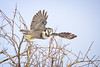 NHO Launch... (DTT67) Tags: northernhawkowl hawkowl owl birds birdofprey wildlife bif launch nature nationalgeographic treetops canon 1dxmkii 500mmii