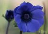 Anemone coronaria (Hondentrimsalon-Warber) Tags: natuur blauw blue annemoon bloem 50mm anemone nature garden