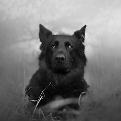 Draka (kahora777) Tags: dogphotography dog animals animalsphotography portrait pet petphotography germanshepherds blackandwhite blackandwhitephotography outdor