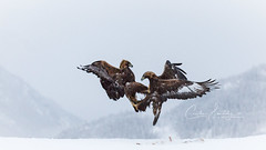 More fighting eagles (CecilieSonstebyPhotography) Tags: 150600mmf563dgoshsmsports014 goldeneagle winter closeup birds eaglefight canon eagles snow norway january accipitridae fight goldeneagles bird markiii kongeørn aquilachrysaetos snowflakes canon5dmarkiii snowing white specanimal coth5 specanimalphotooftheday ngc npc