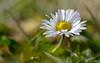 Little daisy (Maryna K.) Tags: flowers daisy nature springtime