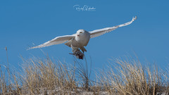 Snowy Owls of New Jersey | 2018 - 14 (RGL_Photography) Tags: beachowl birding birds birdsofprey birdwatching buboscandiacus gardenstate jerseyshore mothernature nature newjersey nikonafs600mmf4gedvr nikond500 oceancounty ornithology owls raptors snowyowl us unitedstates wildlife wildlifephotography bif birdsinflight