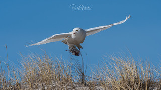 Snowy Owls of New Jersey | 2018 - 14