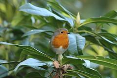 Robin Red Breast (Steve Dawson.) Tags: robin red breast bird wildlife centerparcs nottinghamshire england uk canoneos50d canon eos 50d ef400mmf56lusm ef400mm f56l usm 15th february 2018