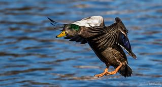 Mallard x Black Duck