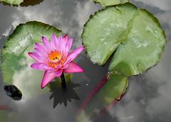 Cloudy sky in water (Paradiperdu) Tags: fleurs thaïlande reflets réverbération nuages nature