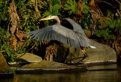Heron Spreads its Wings (TheseusPhoto) Tags: heron bird wings lake water beak wingspan wildlifephotography wildlife