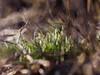 ⚘⚘⚘⚘⚘ (cнαт-ɴoιr^^) Tags: 201802201290014 flora flower blume fiori fleur snowdrops schneeglöckchen perceneige bucaneve przebiśnieg sneeuwklokje zvonček подснежник vintagelens 50mm 14 openaperture rokkor