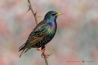 Storno europeo - Sturnus vulgaris - European starling