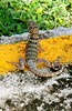 Lizard! (Gecko?) (xx397) Tags: cuba island tropical tropics cuban guardalavaca clubamigo club amigo vacation trip 2017