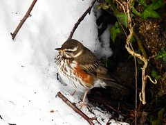 Redwing, Monmouthshire-Brecon Canal, Forgehammer, Cwmbran 3 March 2018 (Cold War Warrior) Tags: redwing snow canal cwmbran turdusiliacus