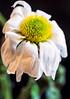 Wilt (LoomahPix) Tags: flickr macromondays myfavouritenovelfiction nature tomsharpe blackbackground book chrysanthemum flora flower macrophotography natural novel organic white wilt