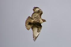 Close Up! (Tripawd) Tags: vargasplateau ebrparksok trailschallenge2018 redtailedhawk bird birdofprey wings fly explore